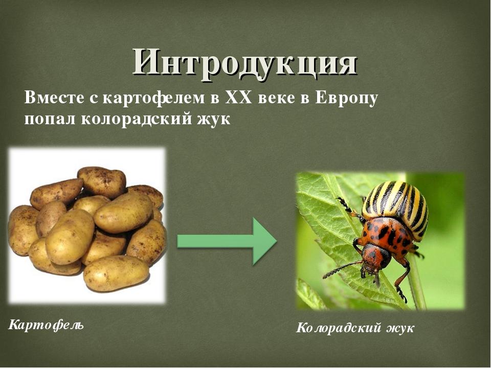 Интродукция Картофель Вместе с картофелем в XX веке в Европу попал колорадски...