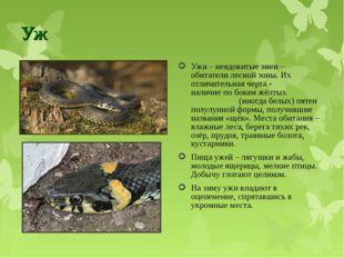 Уж Ужи – неядовитые змеи – обитатели лесной зоны. Их отличительная черта - на