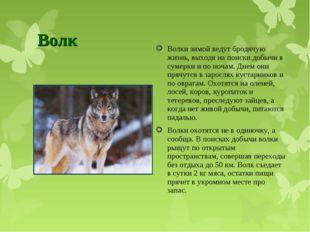 Волк Волки зимой ведут бродячую жизнь, выходя на поиски добычи в сумерки и по