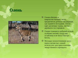 Олень Олени обитают в широколиственных лесах, предпочитая дубовые насаждения,