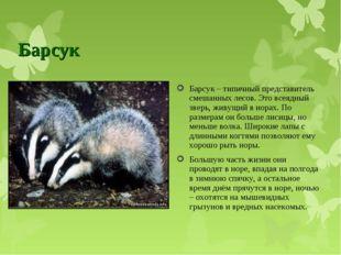Барсук Барсук – типичный представитель смешанных лесов. Это всеядный зверь, ж
