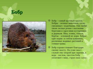Бобр Бобр – самый крупный грызун. Бобры – ночные животные, тесно связанные с