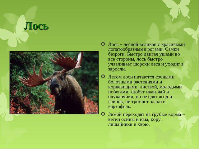 Лось Лось – лесной великан с красивыми лопатообразными рогами. Самки безроги....
