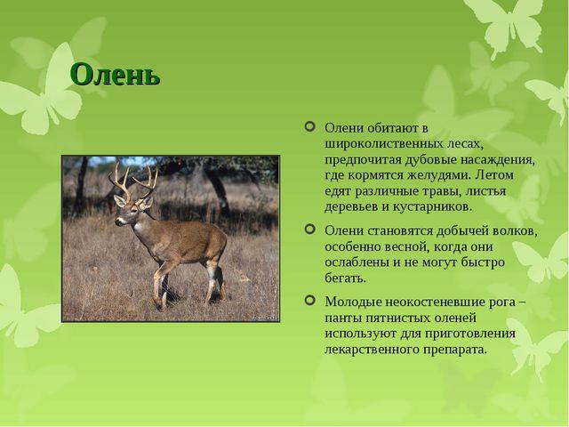 Олень Олени обитают в широколиственных лесах, предпочитая дубовые насаждения,...