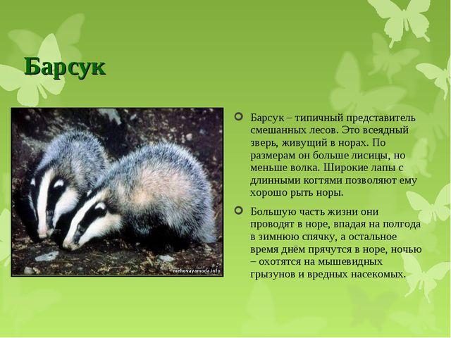 Барсук Барсук – типичный представитель смешанных лесов. Это всеядный зверь, ж...