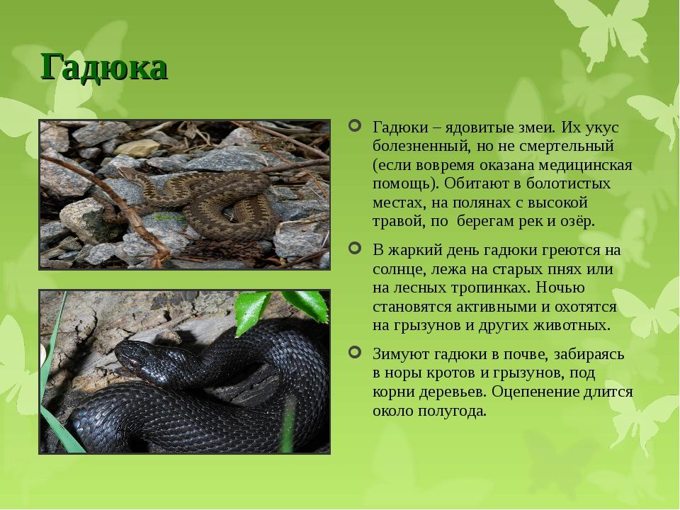Гадюка Гадюки – ядовитые змеи. Их укус болезненный, но не смертельный (если в...