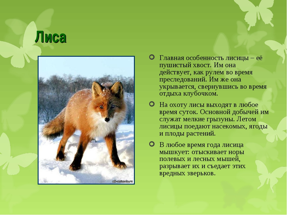 Лиса Главная особенность лисицы – её пушистый хвост. Им она действует, как ру...