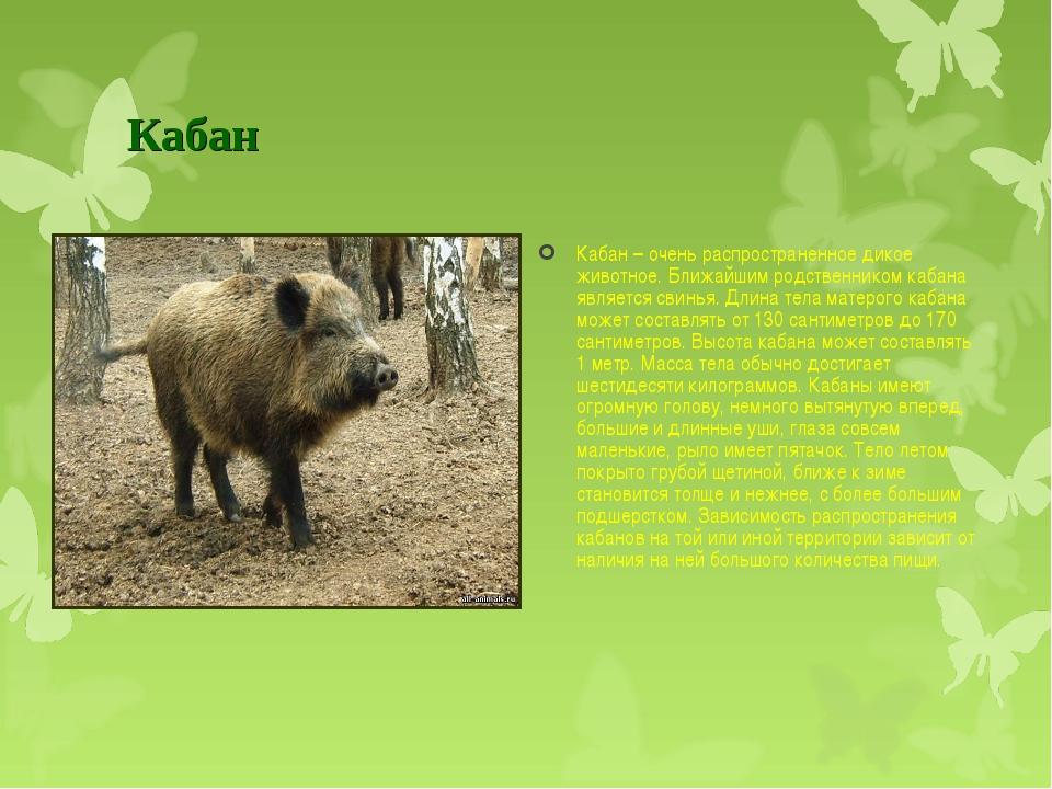 Кабан Кабан– очень распространенноедикое животное. Ближайшим родственником...