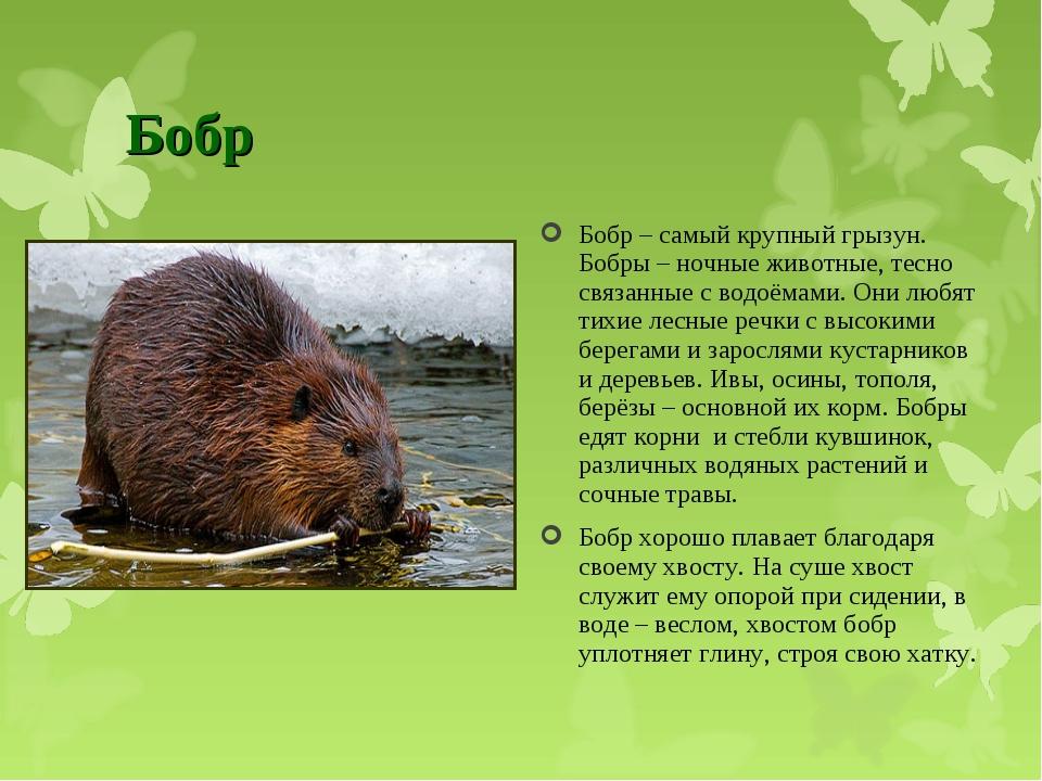 Бобр Бобр – самый крупный грызун. Бобры – ночные животные, тесно связанные с...