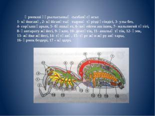 Өрмекші құрылысының сызбанұсқасы: 1- күйшсаяқ, 2- күйісаяқтың тырнақ тәрізд