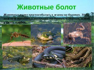 Животные болот Животные тоже приспособились к жизни на болотах. Здесь можно в