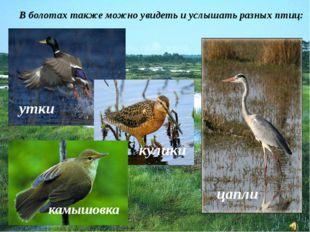 В болотах также можно увидеть и услышать разных птиц: цапли утки кулики камыш
