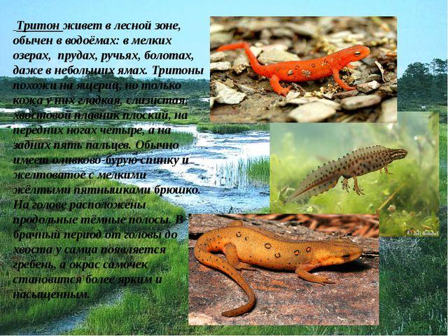 Тритон живет в лесной зоне, обычен в водоёмах: в мелких озерах, прудах, ручь...