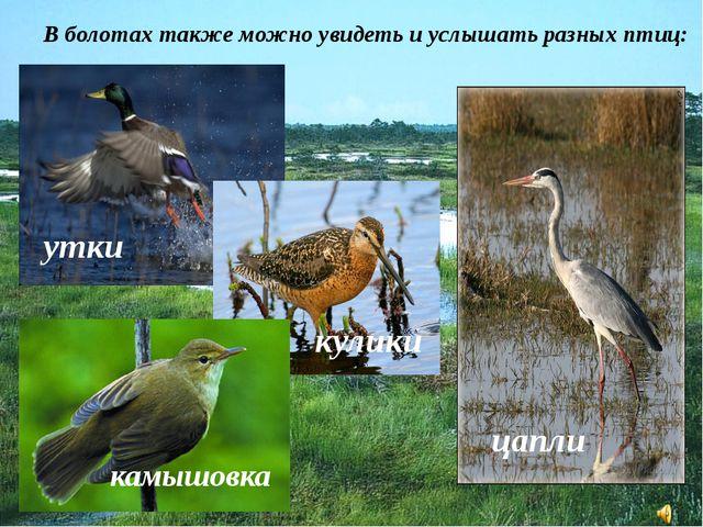 В болотах также можно увидеть и услышать разных птиц: цапли утки кулики камыш...