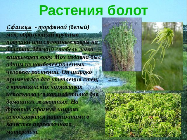 Растения болот Сфагнум - торфяной (белый) мох, образующий крупные подушки или...
