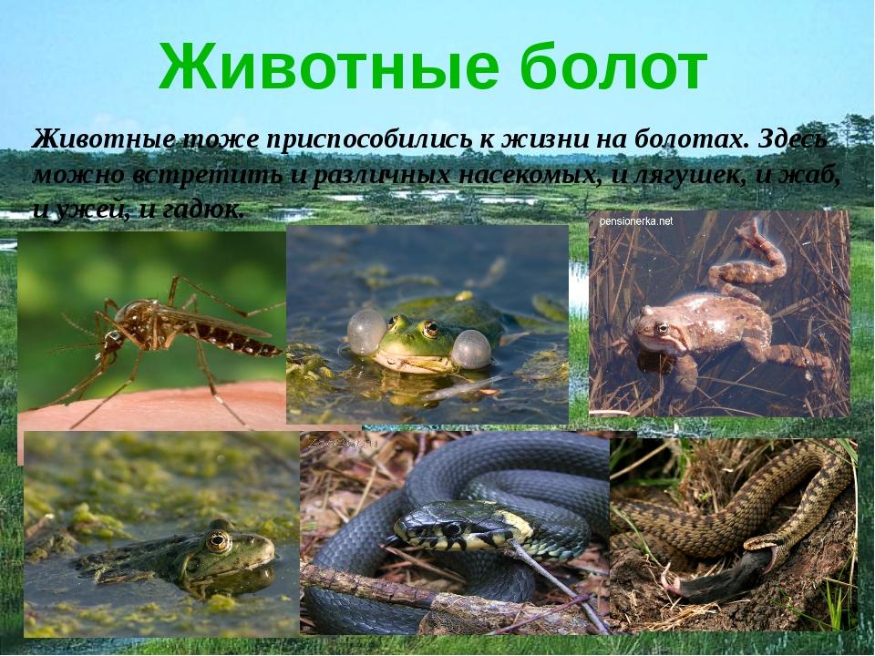 Животные болот Животные тоже приспособились к жизни на болотах. Здесь можно в...