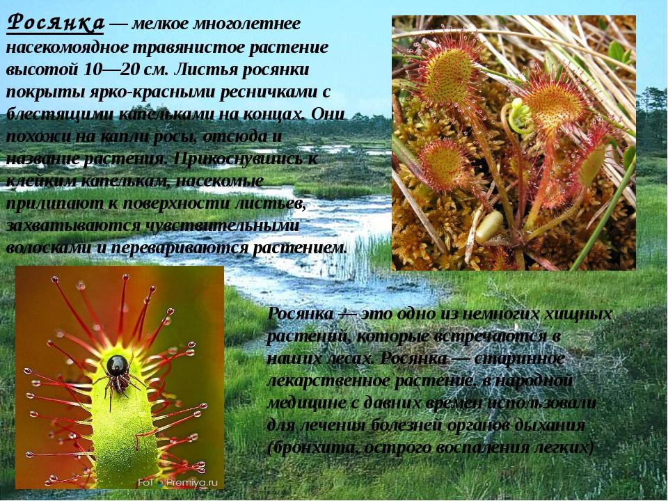 Росянка — мелкое многолетнее насекомоядное травянистое растение высотой 10—20...