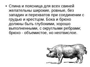 Спина и поясница для всех свиней желательны широкие, ровные, без западин и пе