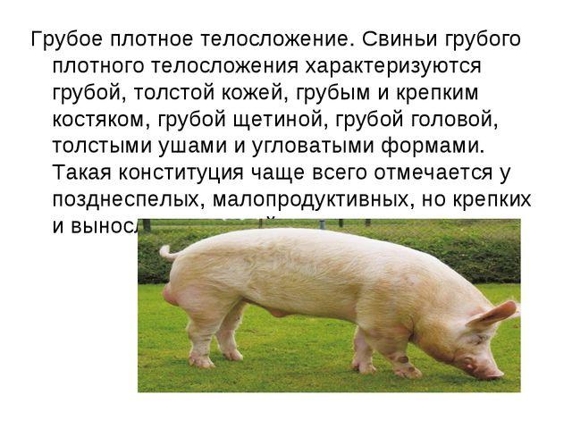 Грубое плотное телосложение. Свиньи грубого плотного телосложения характеризу...