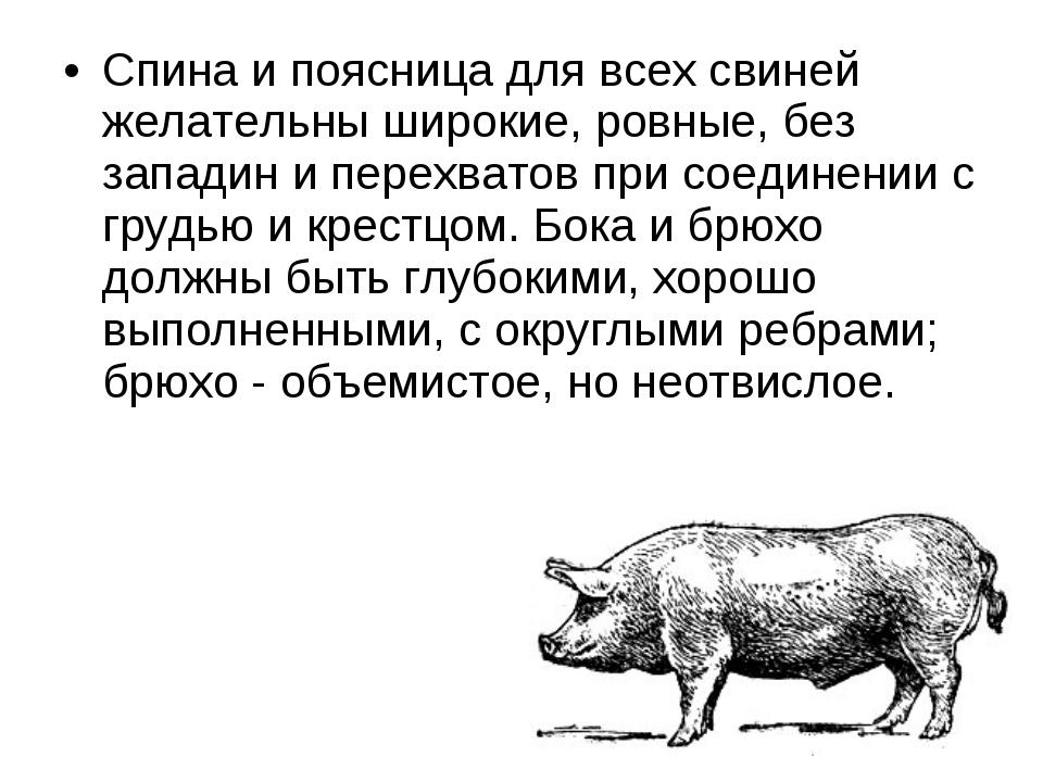 Спина и поясница для всех свиней желательны широкие, ровные, без западин и пе...