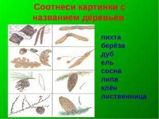 Соотнеси картинки с названием деревьев пихта берёза дуб ель сосна липа клён л