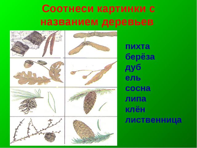 Соотнеси картинки с названием деревьев пихта берёза дуб ель сосна липа клён л...
