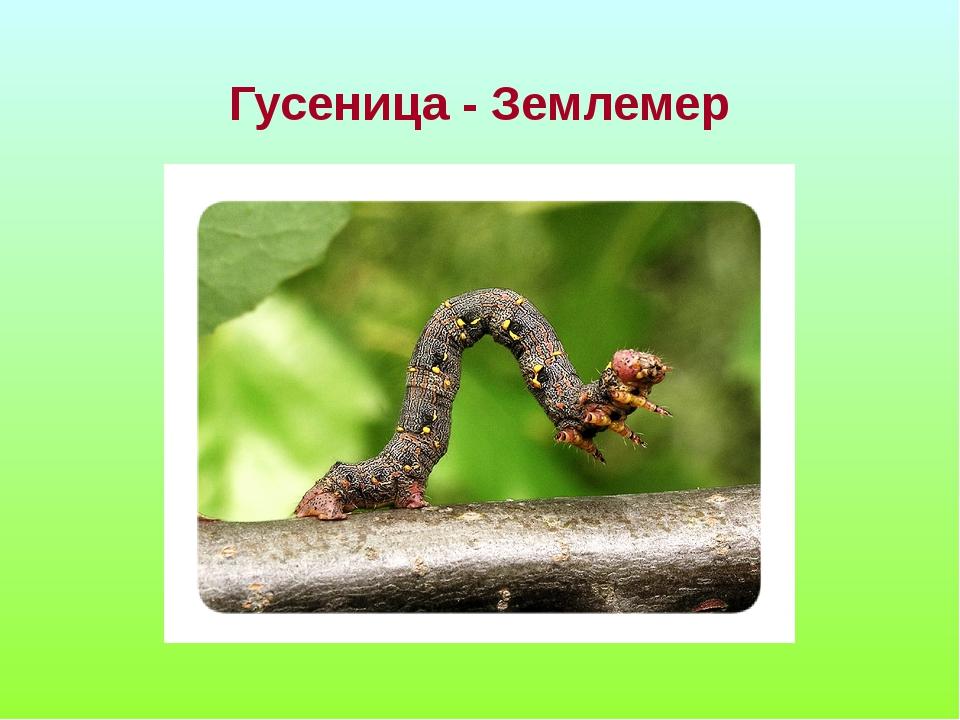 Гусеница - Землемер