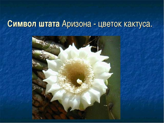Символ штата Аризона - цветок кактуса.