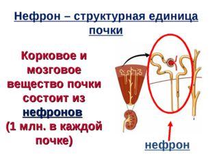 Корковое и мозговое вещество почки состоит из нефронов (1 млн. в каждой почке