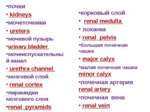 почки kidneys мочеточники ureters мочевой пузырь urinary bladder мочеиспускат