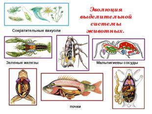 Эволюция выделительной системы животных. Сократительные вакуоли Зеленые желез