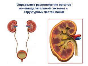 Определите расположение органов мочевыделительной системы и структурных часте