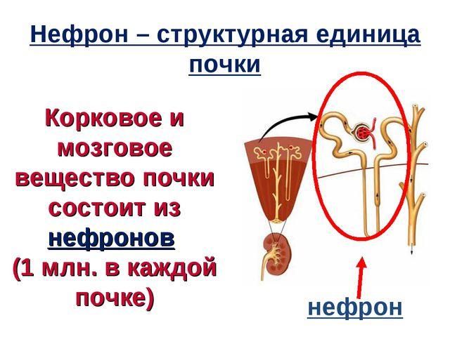 Корковое и мозговое вещество почки состоит из нефронов (1 млн. в каждой почке...