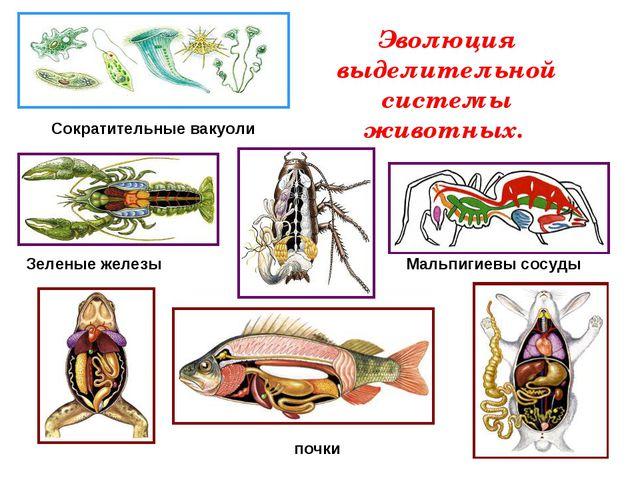 Эволюция выделительной системы животных. Сократительные вакуоли Зеленые желез...
