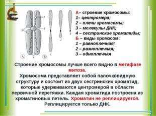 А– строение хромосомы: 1–центромера; 2– плечи хромосомы; 3– молекулы ДНК