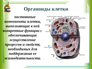Органоиды клетки постоянные компоненты клетки, выполняющие в ней конкретные
