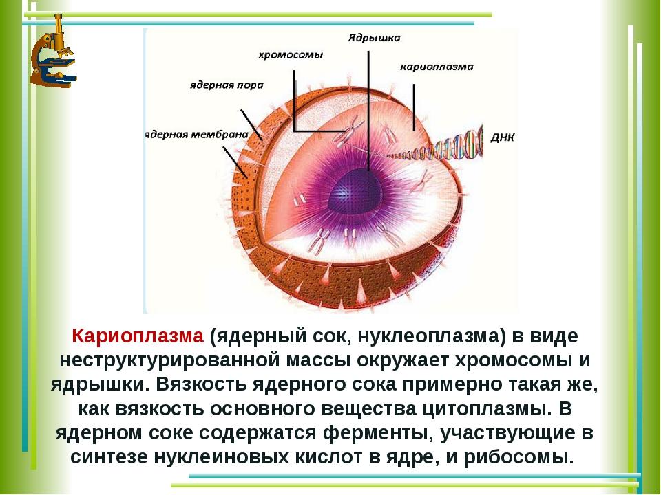 Кариоплазма(ядерный сок, нуклеоплазма) в виде неструктурированной массы окру...