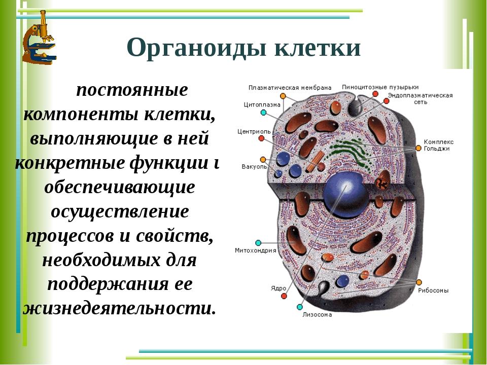 Органоиды клетки постоянные компоненты клетки, выполняющие в ней конкретные...