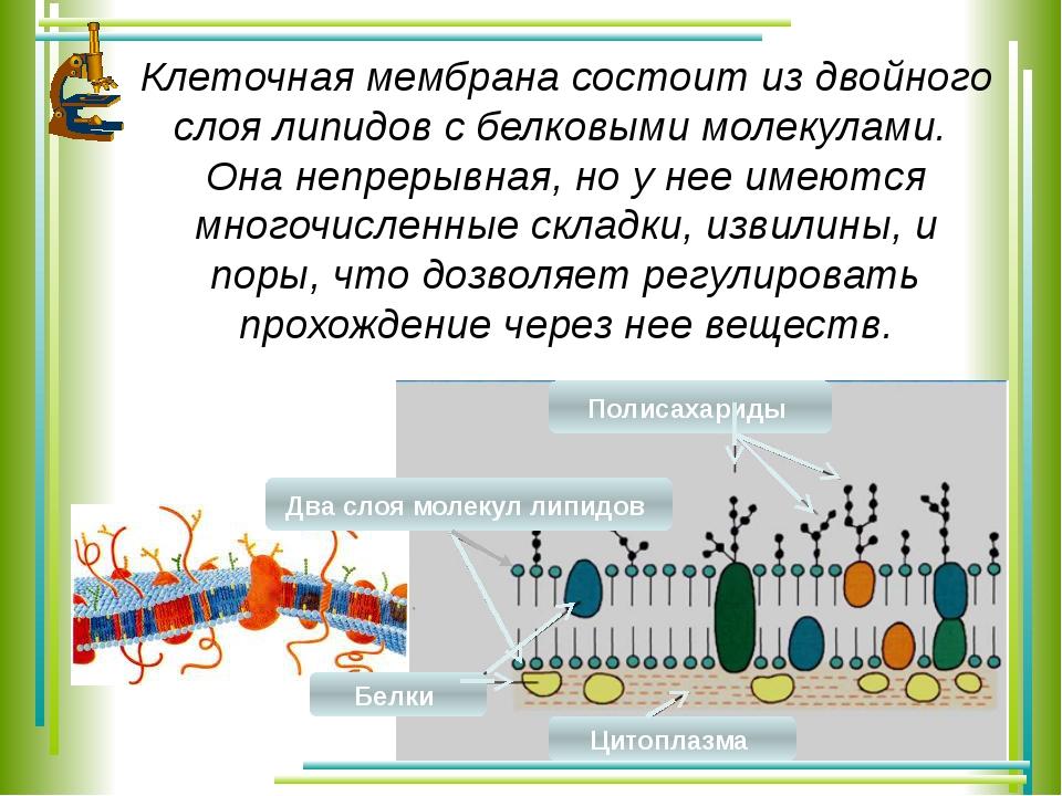 Клеточная мембрана состоит из двойного слоя липидов с белковыми молекулами. О...