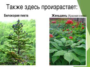 Также здесь произрастает: Белокорая пихта Женьшень (Красная книга)