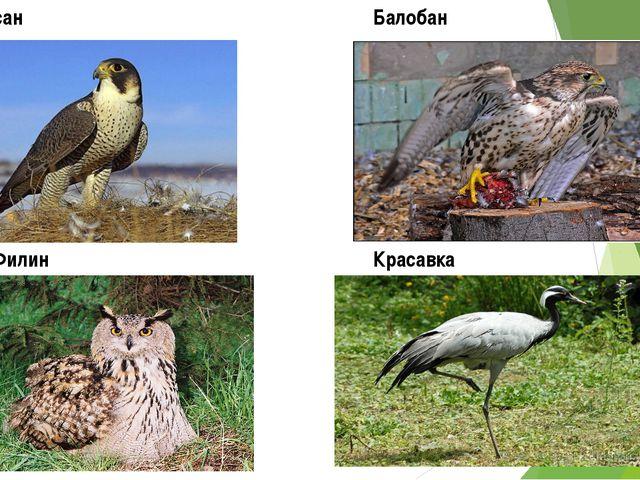 Сапсан Филин Красавка Балобан