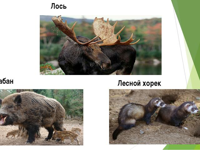 Лось Кабан Лесной хорек