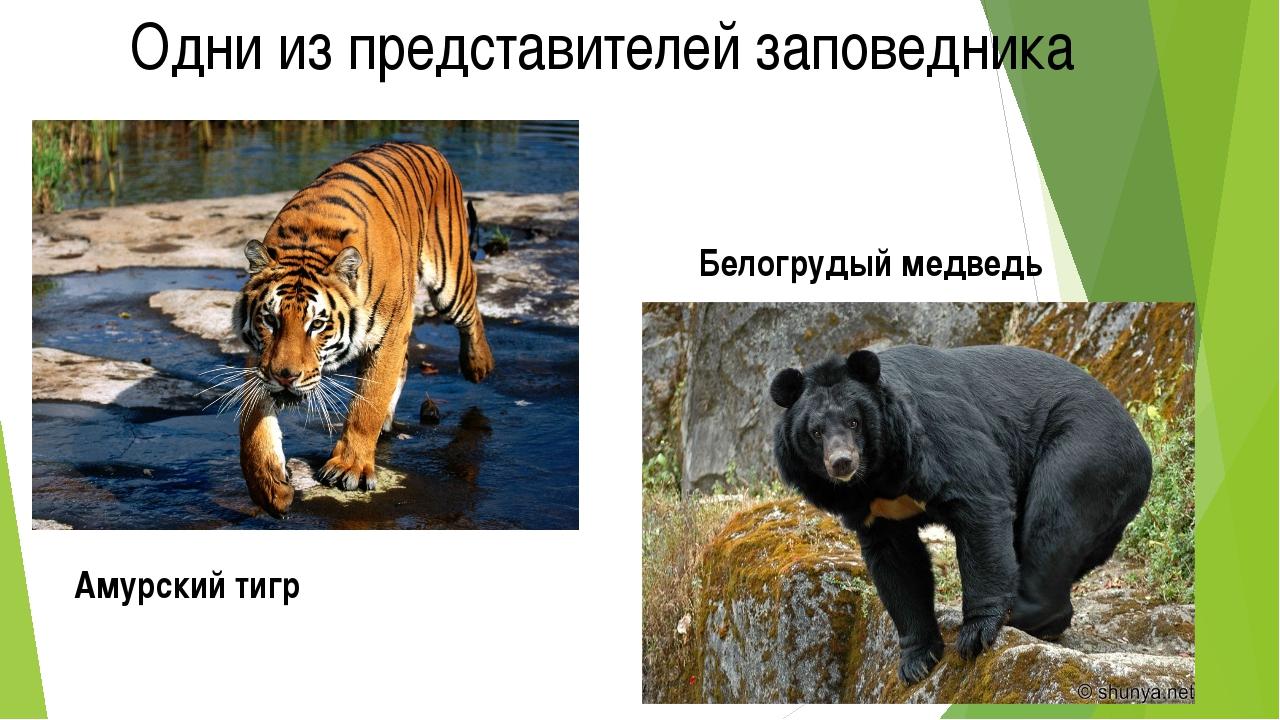 Одни из представителей заповедника Амурский тигр Белогрудый медведь
