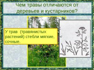 Чем травы отличаются от деревьев и кустарников? У трав (травянистых растений)