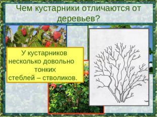 Чем кустарники отличаются от деревьев? У кустарников несколько довольно тонки