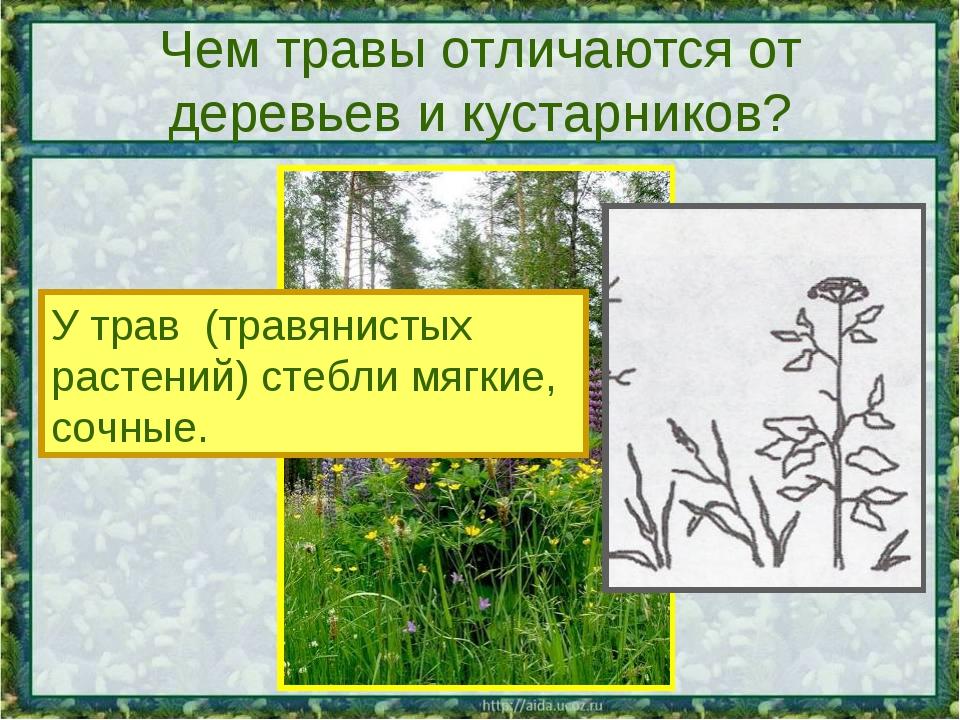 Чем травы отличаются от деревьев и кустарников? У трав (травянистых растений)...