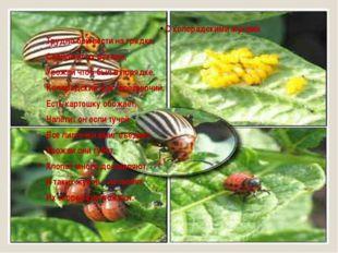 С колорадскими жуками Трудно бой вести на грядке, Собирают их руками, Урожай