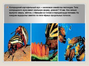 Колорадский картофельный жук — насекомое семейства листоедов. Тело колорадск