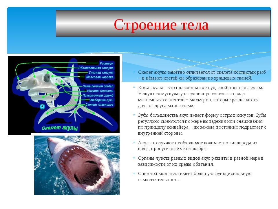 Скелет акулы заметно отличается от скелета костистых рыб − в нём нет костей о...