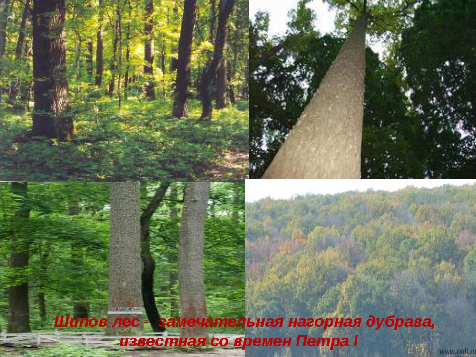 . Шипов лес - замечательная нагорная дубрава, известная со времен Петра I